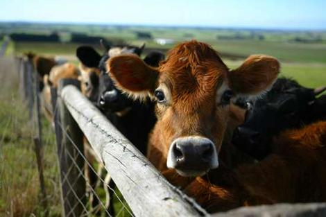 Cattle Slaughtering | Lilys animal blog